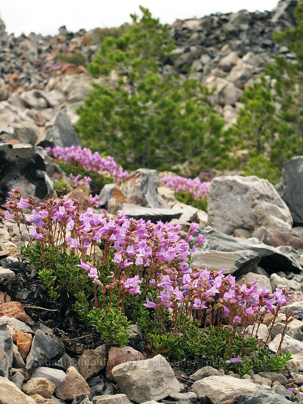 Davidson's penstemon (Penstemon davidsonii) [Glass Mountain, Modoc National Forest, California]