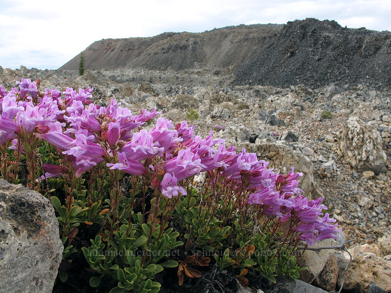 Davidson's penstemon (Penstemon davidsonii) [Glass Mountain, Modoc National Forest, California]