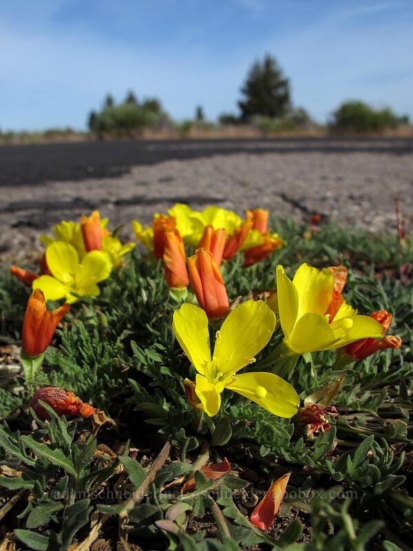 tansy-leaf sun cups (Taraxia tanacetifolia (Camissonia tanacetifolia)) [Forest Road 97, Modoc National Forest, California]