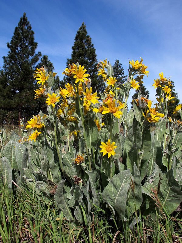 woolly mule's ears (Wyethia mollis) [CA-139, Modoc National Forest, California]