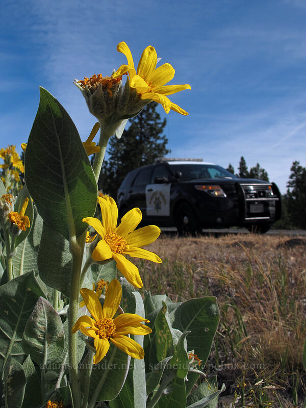 woolly mule's ears (and CHP) (Wyethia mollis) [CA-139, Modoc National Forest, California]
