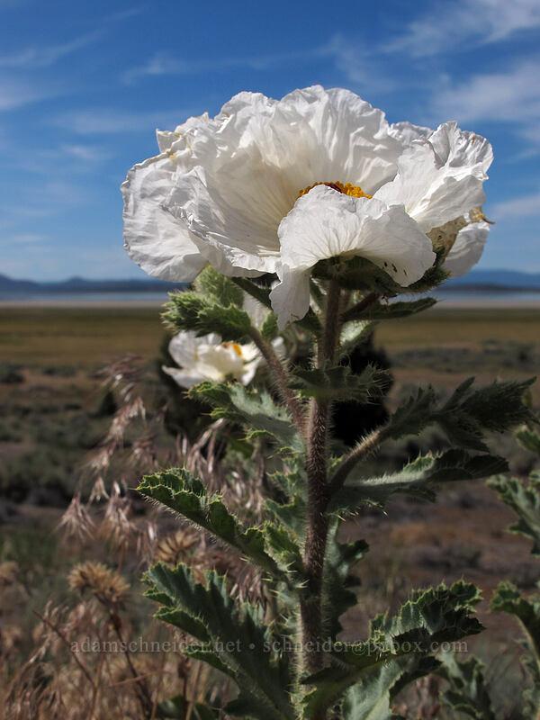 chicalote (prickly poppy) (Argemone munita) [CA-139, Eagle Lake, California]