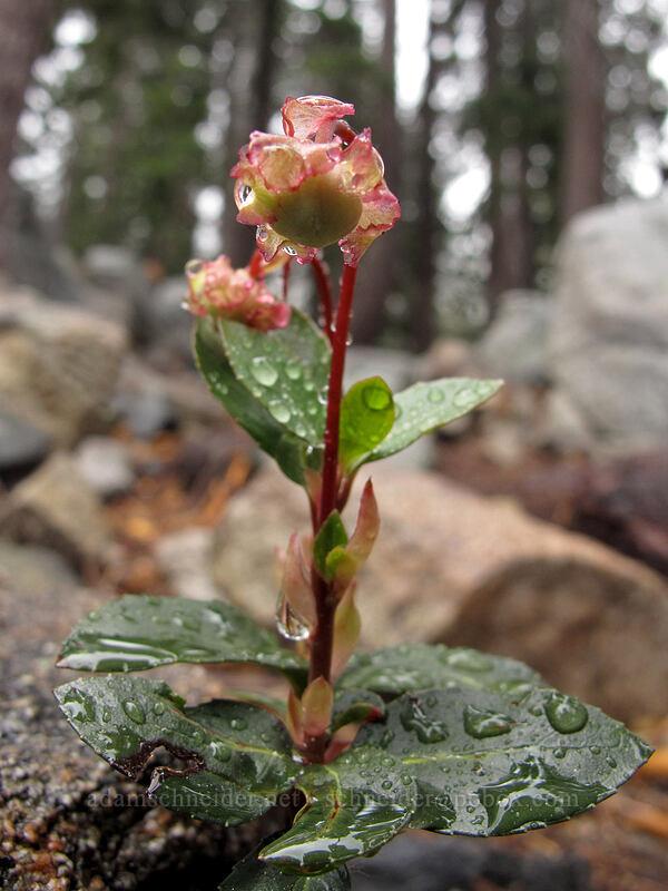 little pipsissewa (Chimaphila menziesii) [Tamarack Trail, Lake Tahoe Basin, California]