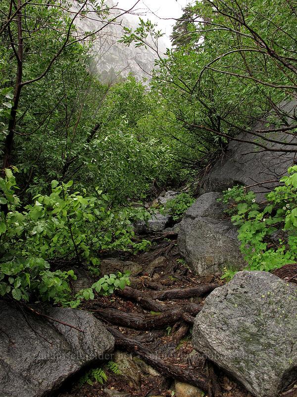 wet, overgrown trail [Tamarack Trail, Lake Tahoe Basin, California]