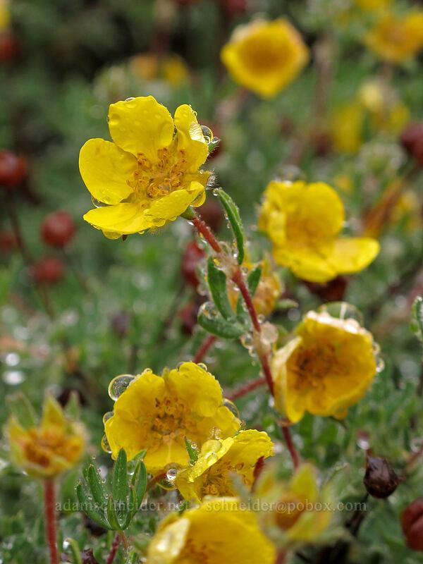 shrubby cinquefoil (Dasiphora fruticosa (Potentilla fruticosa)) [Tamarack Trail, Lake Tahoe Basin, California]