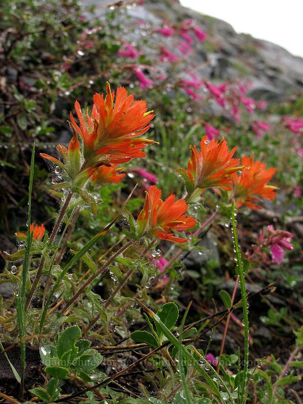 wavy-leaf paintbrush & mountain pride (Castilleja applegatei, Penstemon newberryi) [Tamarack Trail, Desolation Wilderness, California]