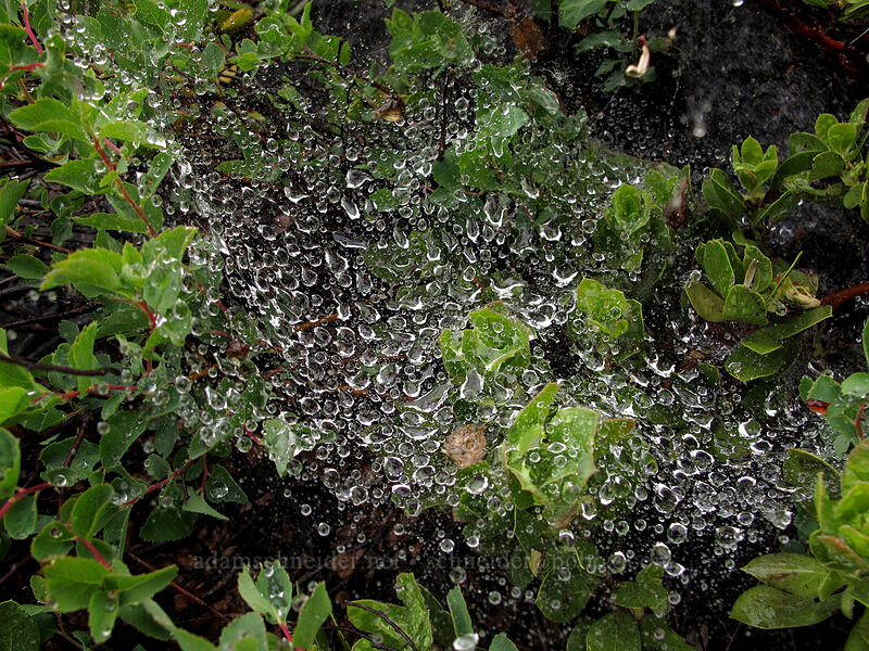rain-soaked spiderweb [Tamarack Trail, Desolation Wilderness, California]