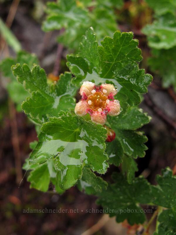 alpine prickly currant (Ribes montigenum) [Tamarack Trail, Desolation Wilderness, California]