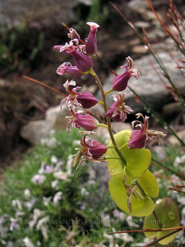 mountain jewelflower (Streptanthus tortuosus) [Tamarack Trail, Desolation Wilderness, California]
