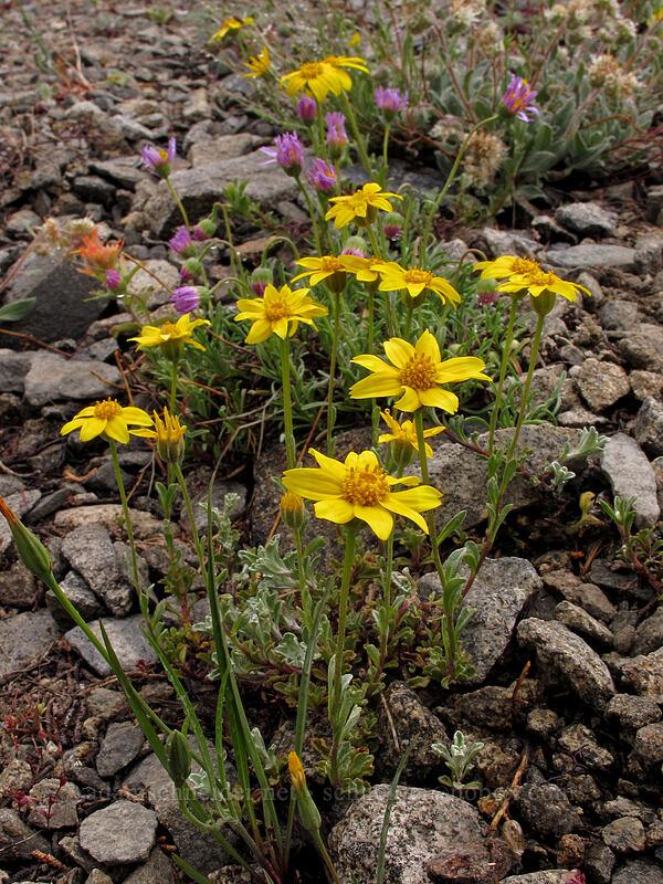 woolly sunflower (and fleabane) (Eriophyllum lanatum, Erigeron sp.) [Tamarack Trail, Desolation Wilderness, California]