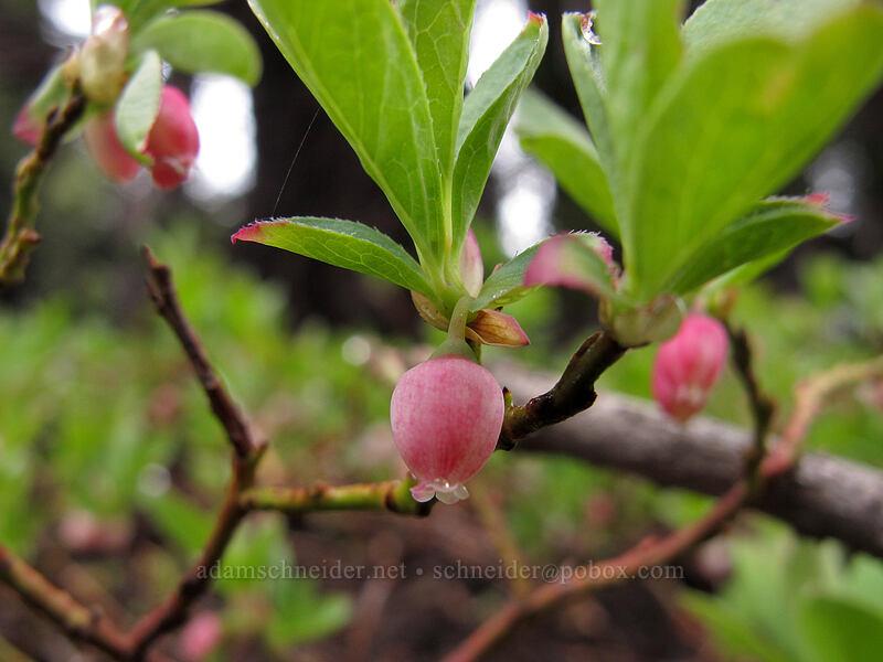 dwarf bilberry flowers (Vaccinium caespitosum) [Pacific Crest Trail, Desolation Wilderness, California]