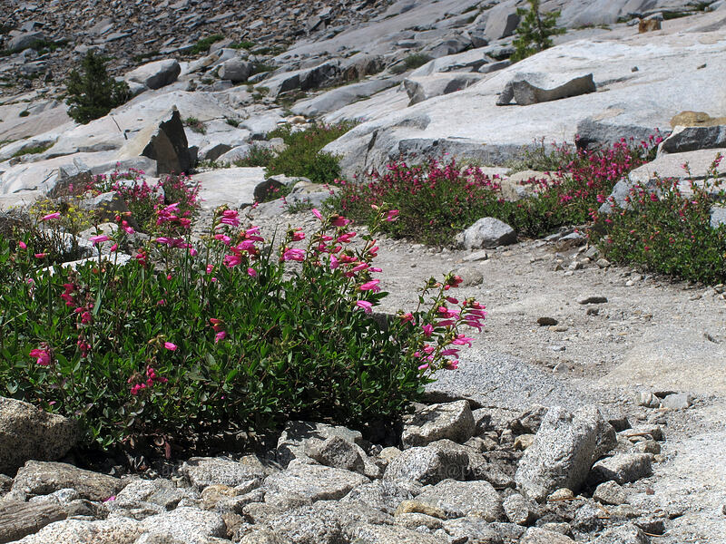 mountain pride (Penstemon newberryi) [Pacific Crest Trail, Desolation Wilderness, California]