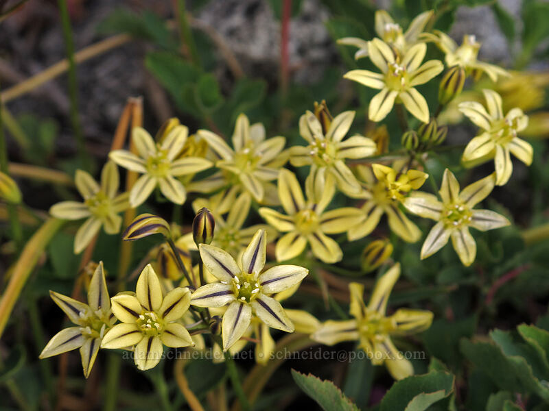 pretty face (Triteleia ixioides) [Pacific Crest Trail, Desolation Wilderness, California]