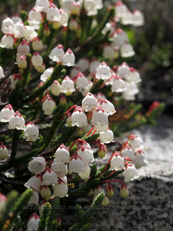 white mountain heather (Cassiope mertensiana) [Pacific Crest Trail, Desolation Wilderness, California]