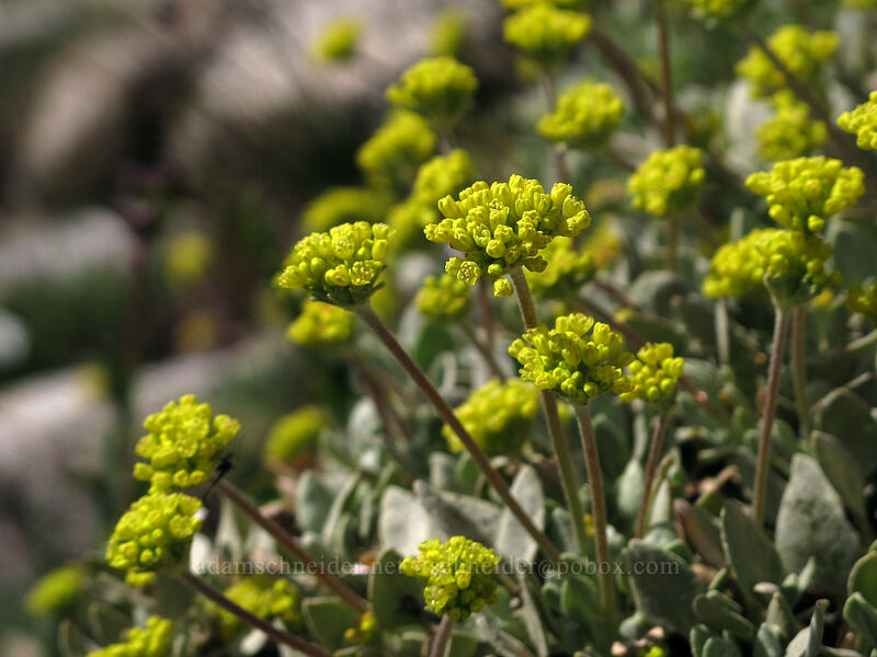sulphur-flower buckwheat (Eriogonum umbellatum) [Pacific Crest Trail, Desolation Wilderness, California]