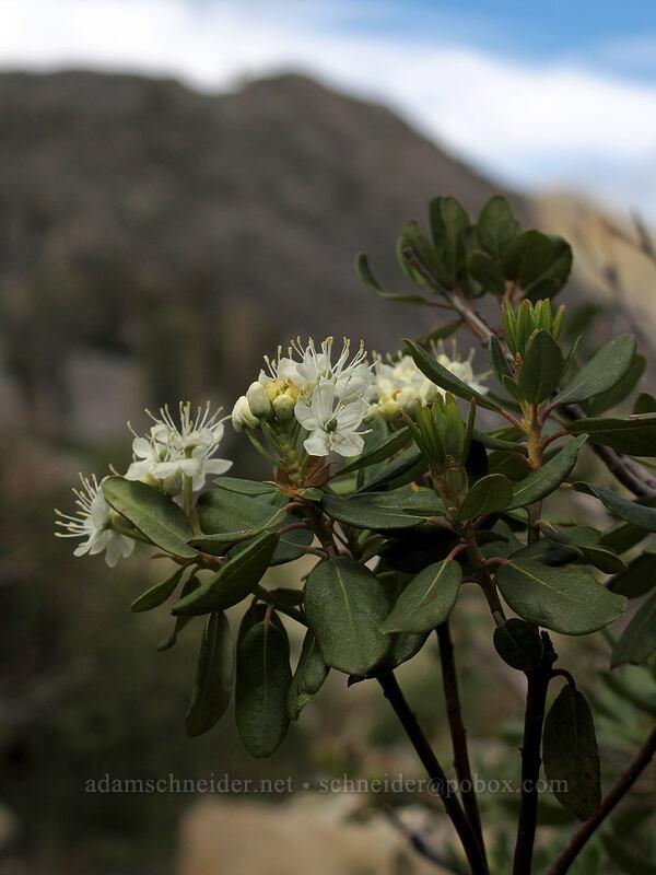 western labrador tea (Rhododendron neoglandulosum, Ledum glandulosum) [Pacific Crest Trail, Desolation Wilderness, California]