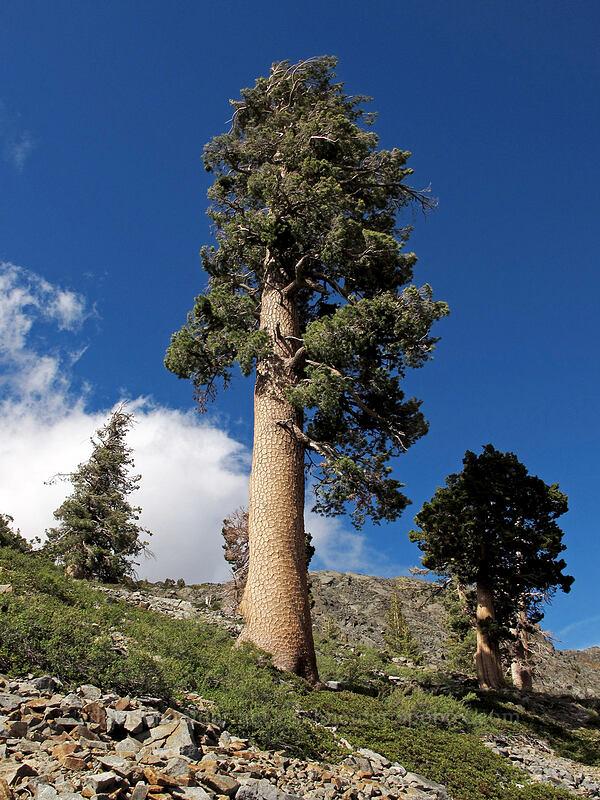 western white pine (Pinus monticola) [Pacific Crest Trail, Desolation Wilderness, California]