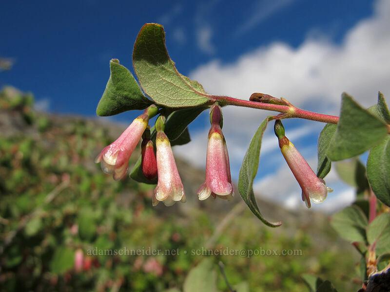 mountain snowberry (Symphoricarpos rotundifolius) [Pacific Crest Trail, Desolation Wilderness, California]