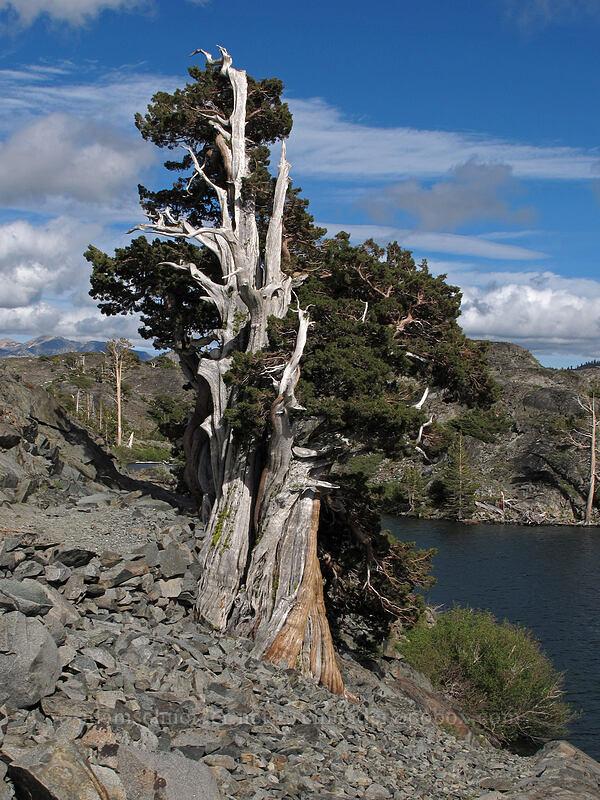 very old juniper (Juniperus occidentalis) [Pacific Crest Trail, Desolation Wilderness, California]