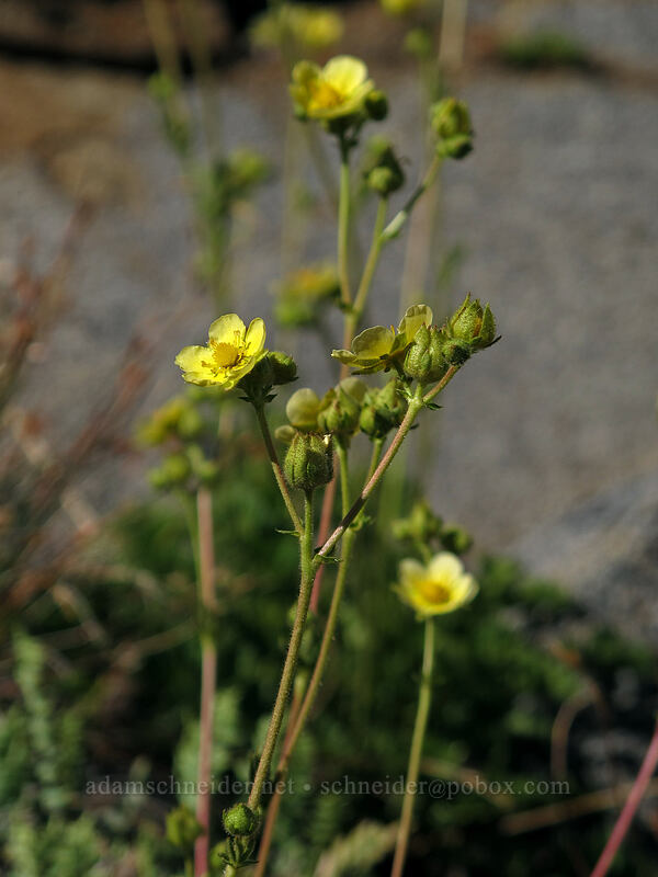 Nevada cinquefoil (?) (Drymocallis sp., Drymocallis lactea) [Pacific Crest Trail, Desolation Wilderness, California]