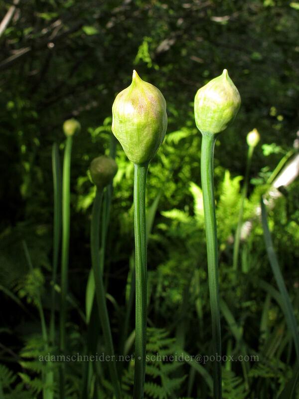 swamp onion, budding (Allium validum) [Glen Alpine Trail, Desolation Wilderness, California]