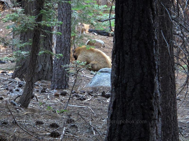 blonde black bear (Ursus americanus californiensis) [Bayview Trail, Lake Tahoe Basin, California]