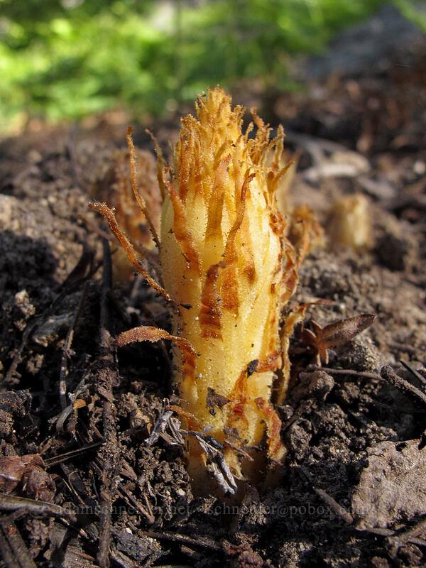 pinedrops, emerging (Pterospora andromedea) [Bayview Trail, Desolation Wilderness, California]
