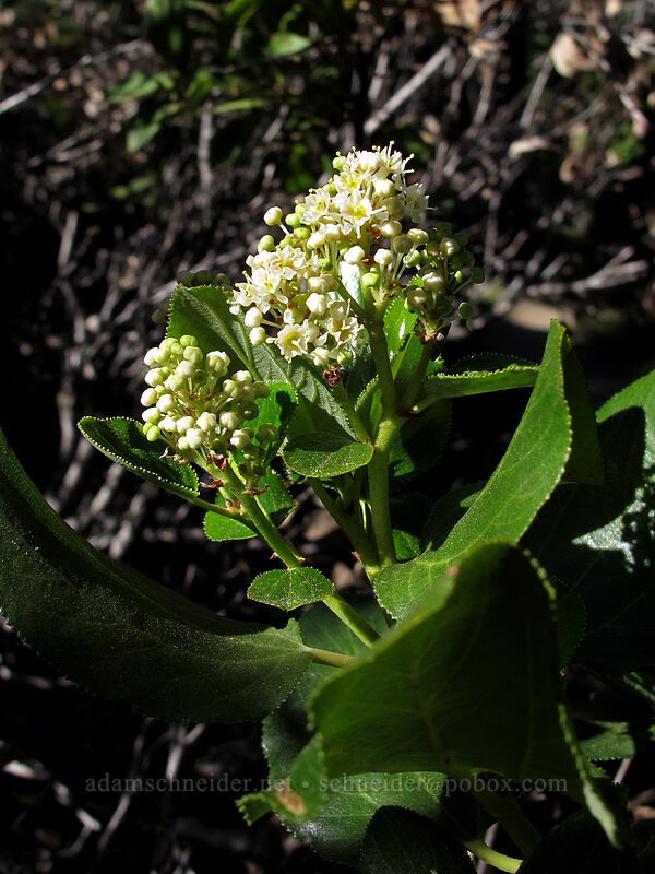 tobacco brush (Ceanothus velutinus) [Bayview Trail, Desolation Wilderness, California]