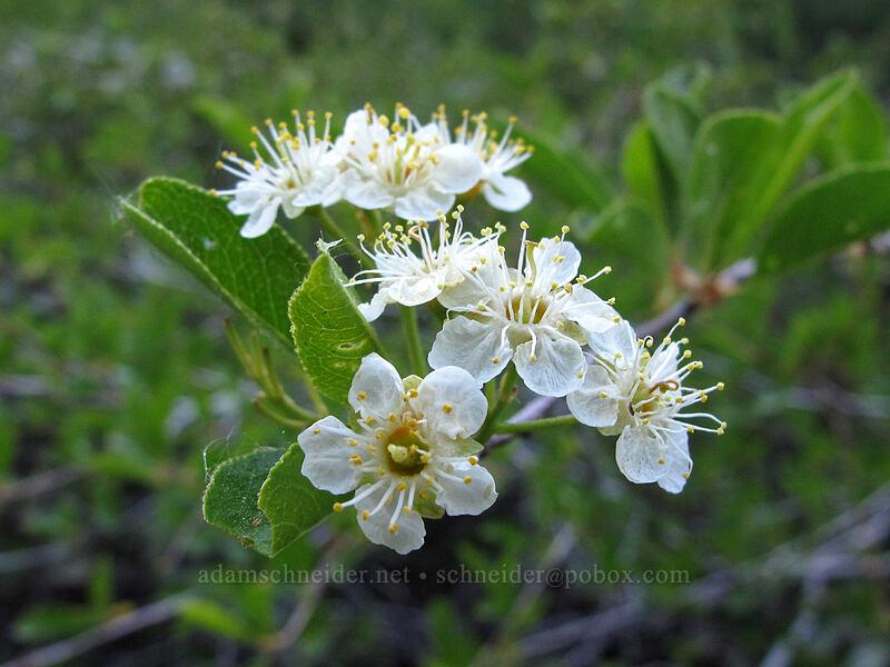 bitter cherry (Prunus emarginata) [Bayview Trail, Desolation Wilderness, California]