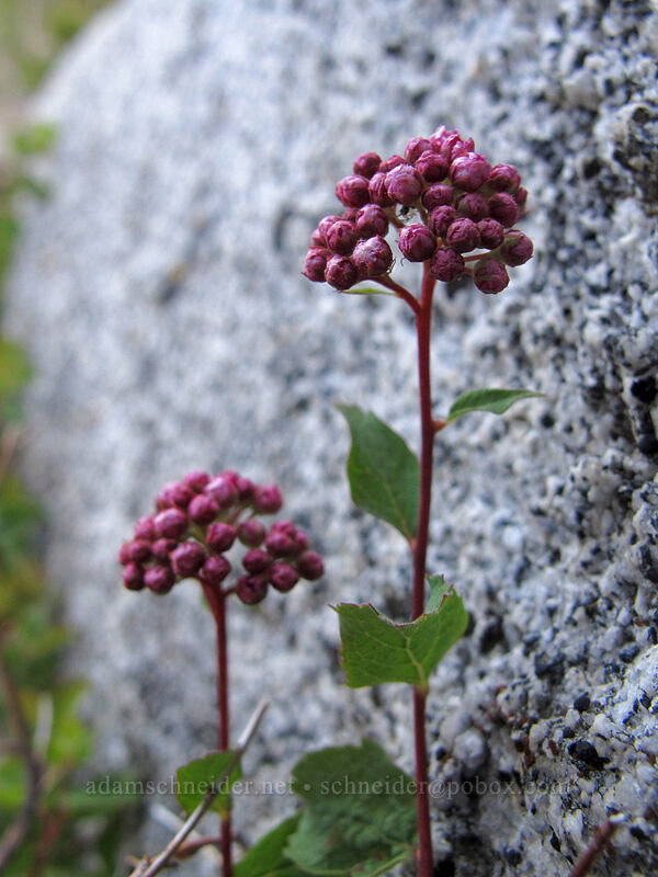 subalpine spirea (Spiraea densiflora (Spiraea splendens)) [Bayview Trail, Desolation Wilderness, California]