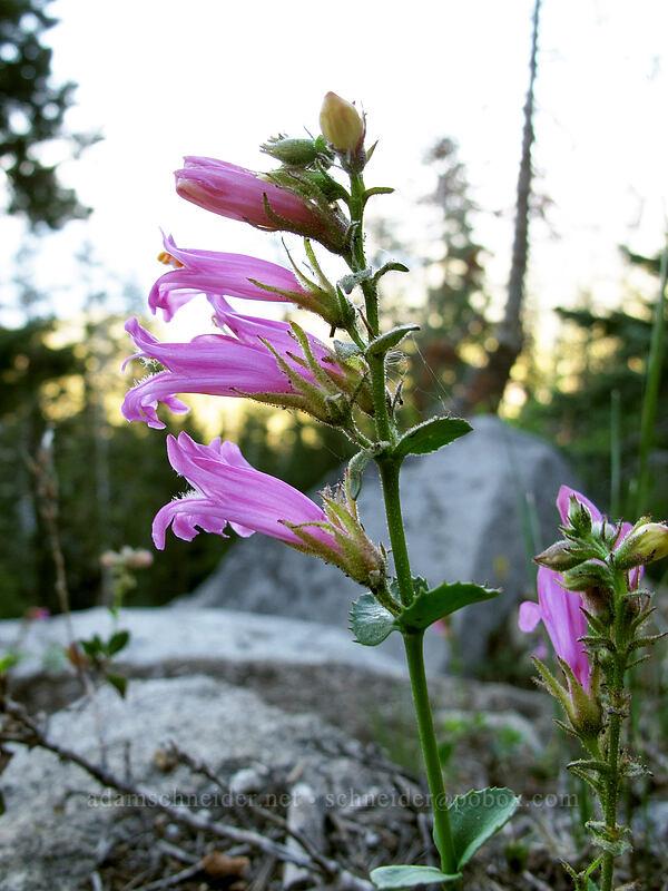 Newberry's penstemon (mountain pride) [Bayview Trail, Desolation Wilderness, California]