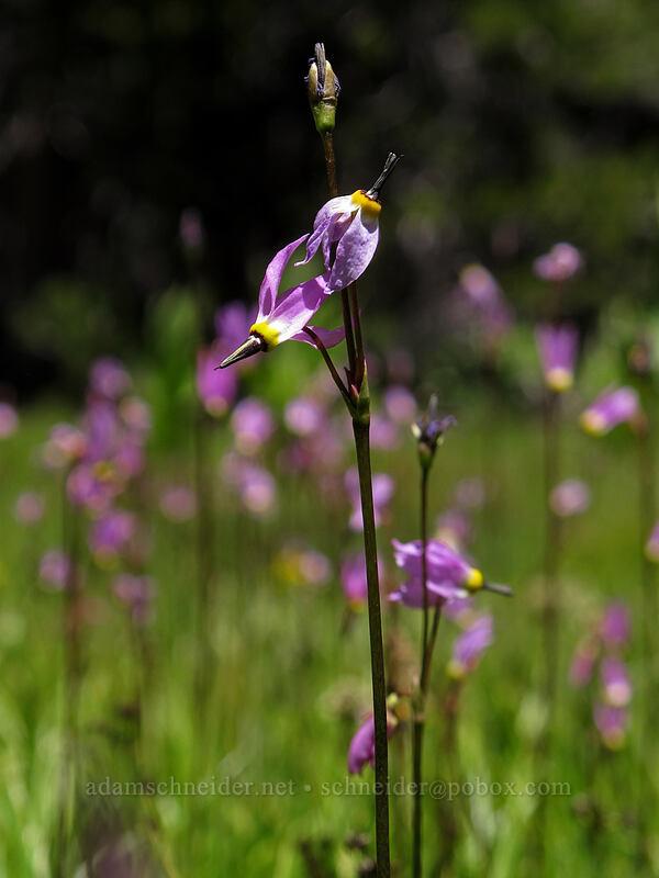 alpine shooting stars (Dodecatheon alpinum) [Ebbetts Pass, Toiyabe National Forest, California]