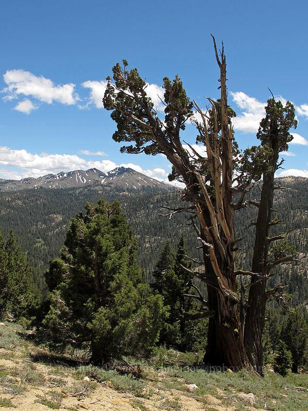 juniper tree & Folger Peak (Juniperus occidentalis) [CA-4, Toiyabe National Forest, California]