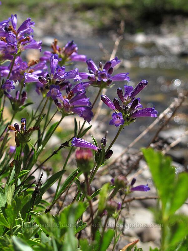 penstemon (Penstemon sp.) [Bloomfield Meadow, Toiyabe National Forest, California]