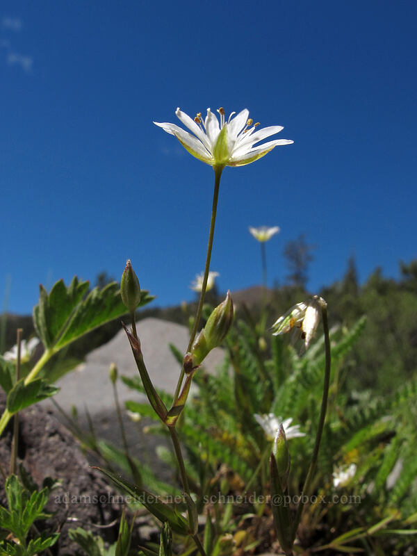 long-stalk starwort (Stellaria longipes) [Bloomfield Meadow, Toiyabe National Forest, California]