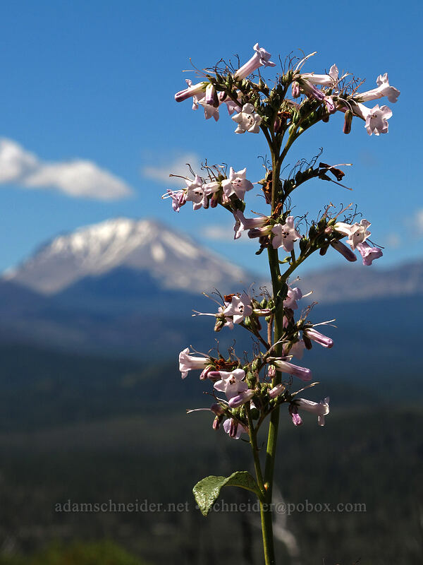 white penstemon & Mt. Lassen (Penstemon sp.) [Hat Creek Rim Overlook, Lassen National Forest, California]