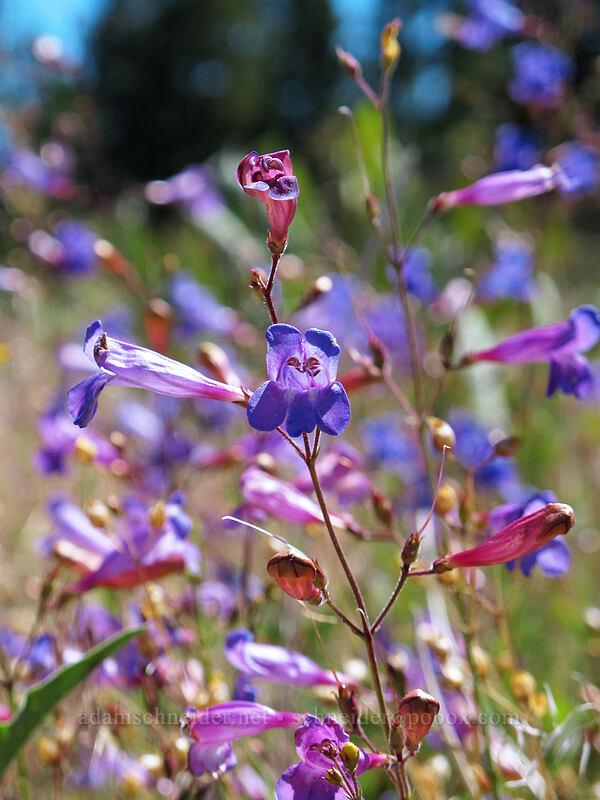 Plumas County beardtongue (Penstemon neotericus) [Hat Creek Rim Overlook, Lassen National Forest, California]