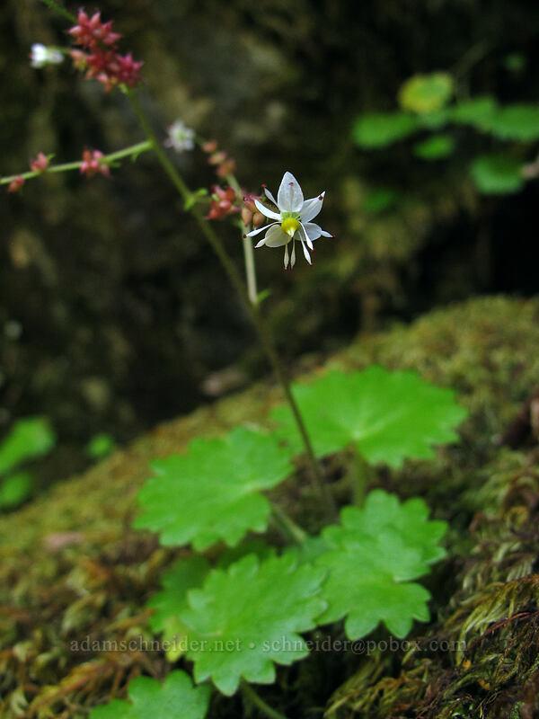 Mertens' saxifrage (Saxifraga mertensiana) [Kopetski Trail, Opal Creek Scenic Recreation Area, Oregon]