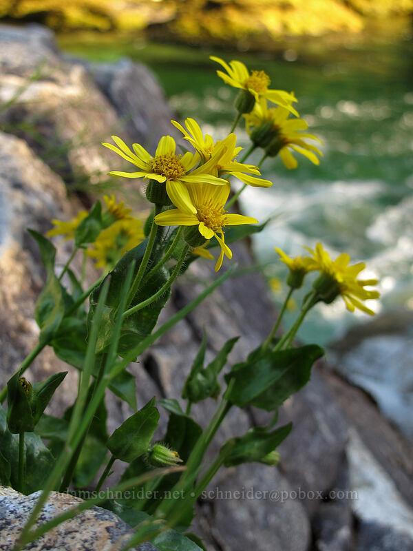 arnica (Arnica sp.) [Three Pools Day Use Area, Opal Creek Scenic Recreation Area, Oregon]