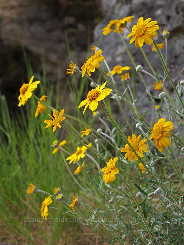 Oregon sunshine (Eriophyllum lanatum) [Three Pools Day Use Area, Opal Creek Scenic Recreation Area, Oregon]