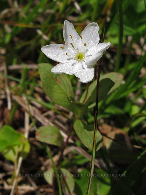 arctic starflower (Trientalis europaea) [Opal Lake Trail, Opal Creek Wilderness, Oregon]