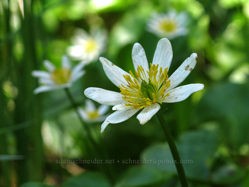 white marsh-marigolds (Caltha leptosepala) [Opal Lake Trail, Opal Creek Wilderness, Oregon]