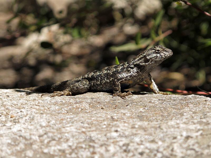 northwestern fence lizard (Sceloporus occidentalis occidentalis) [Pyramid Creek Trail, Lake Tahoe Basin, California]