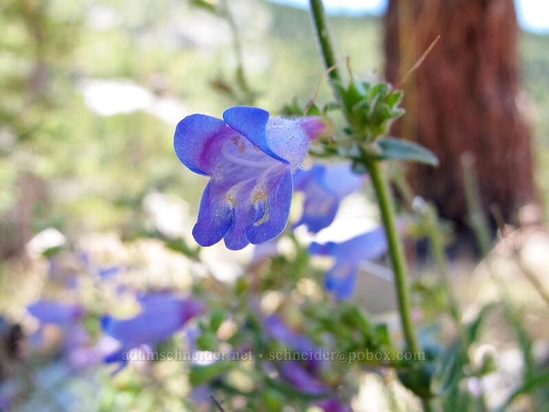 penstemon (Penstemon sp.) [Pyramid Creek Trail, Lake Tahoe Basin, California]