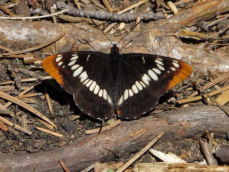 Lorquin's admiral butterfly (Limenitis lorquini) [Pyramid Creek Trail, Lake Tahoe Basin, California]