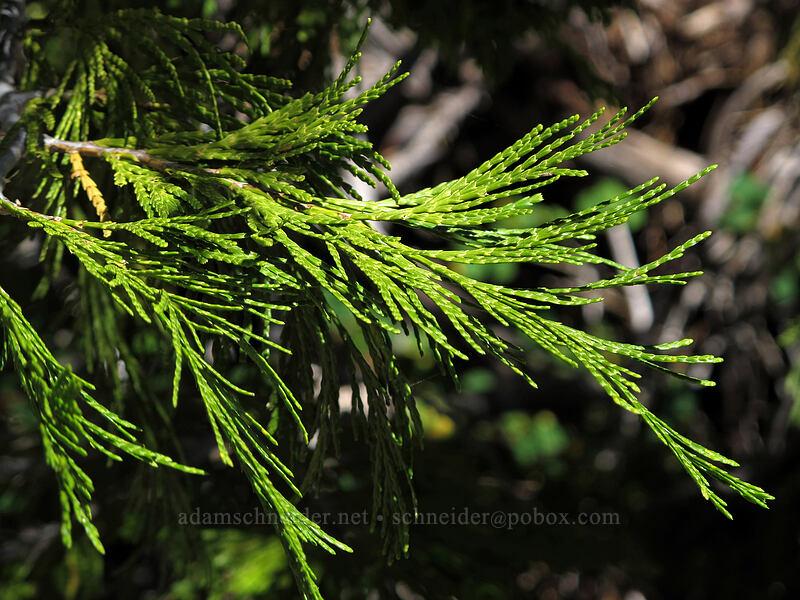 California incense cedar (Calocedrus decurrens) [Pyramid Creek Trail, Desolation Wilderness, California]