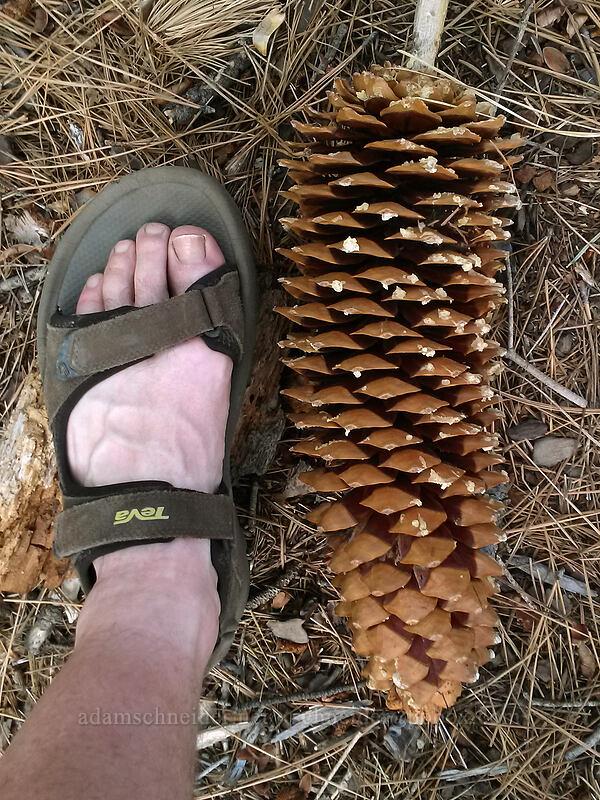 sugar pine cone (Pinus lambertiana) [Chimney Beach-Secret Cove Trail, Lake Tahoe Basin, Nevada]