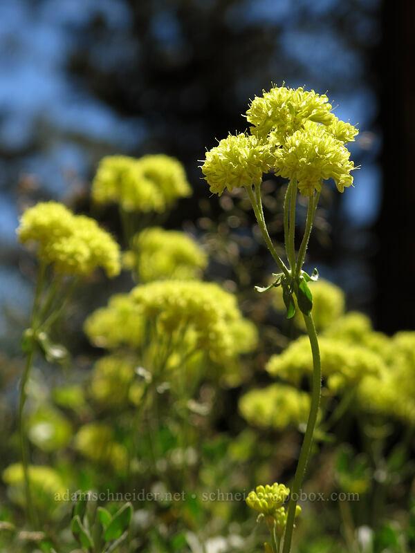 sulphur flower buckwheat (Eriogonum umbellatum) [Shirley Canyon Trail, Squaw Valley, California]