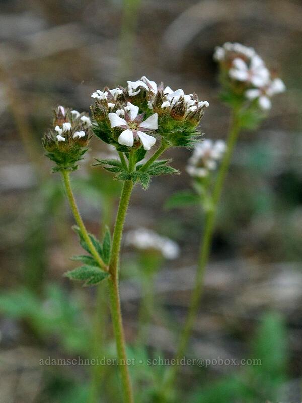 dusky horkelia (Horkelia fusca ssp. parviflora) [Shirley Canyon Trail, Squaw Valley, California]