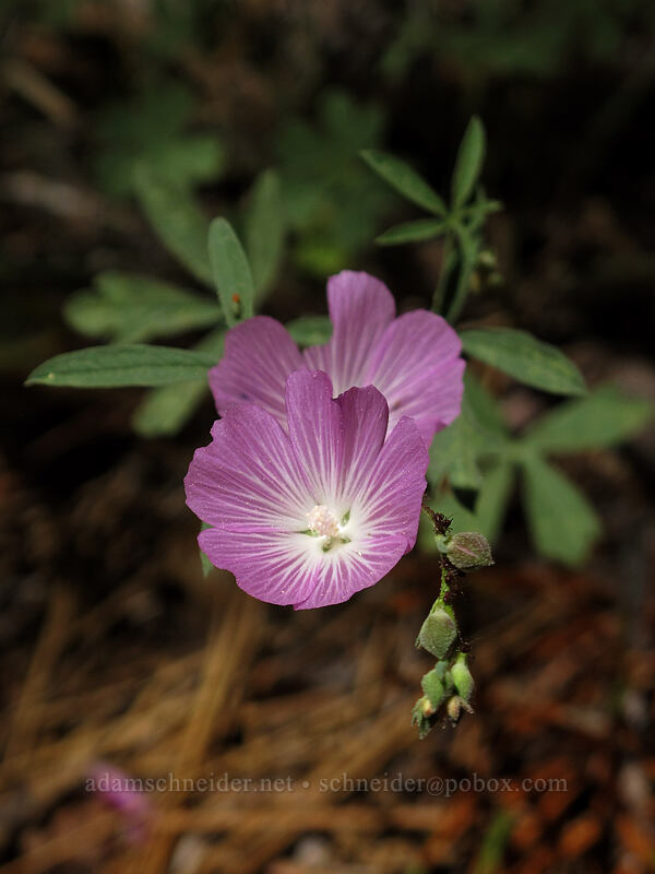 waxy checker-mallow (Sidalcea glaucescens) [Shirley Canyon Trail, Squaw Valley, California]